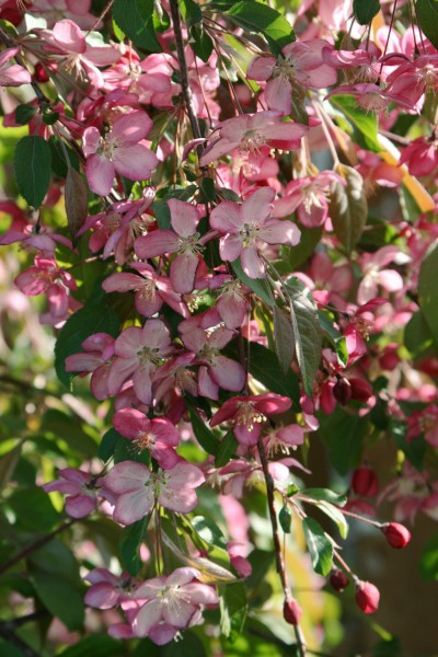 Malus Ruby Tears