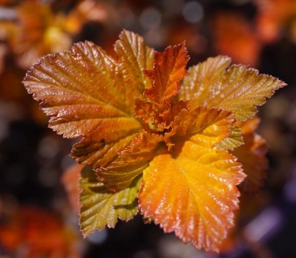 Amber Jubilee foliage