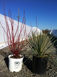Cornus Arctic Fire and Bright Edge Yucca