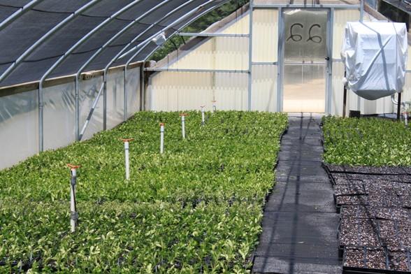 Azalea cuttings in the  mist house