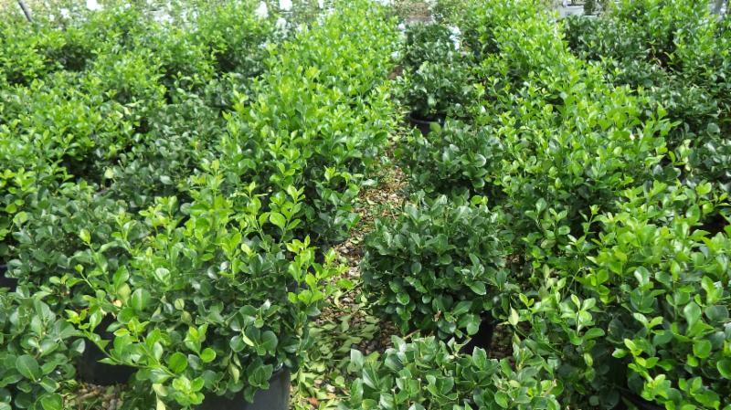 Manhattan Euonymus 50% pruned