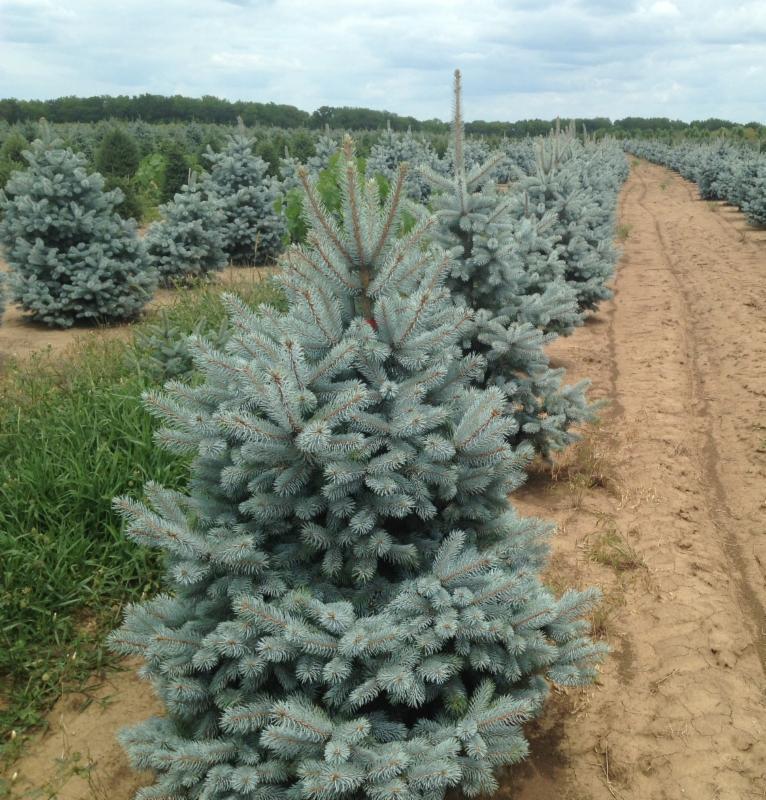 Spruce field