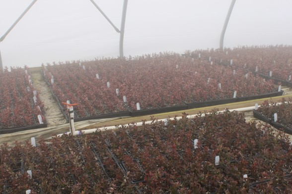 Barberry cuttings in the fog house