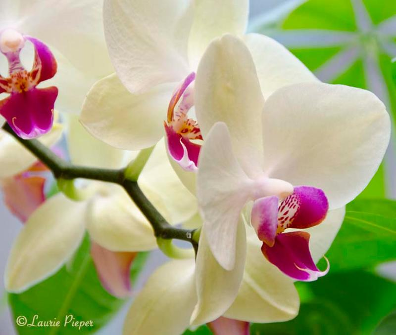 Orchids Larger