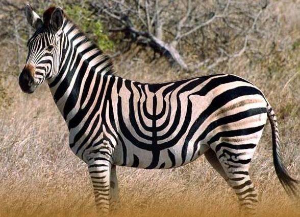 Khanikeh zebra