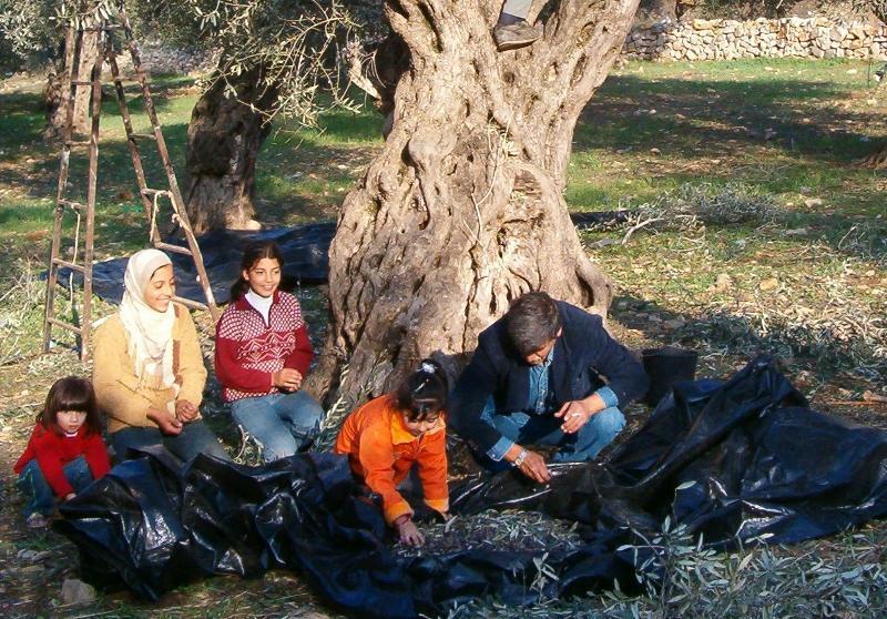 Harvesting olives in Palestine