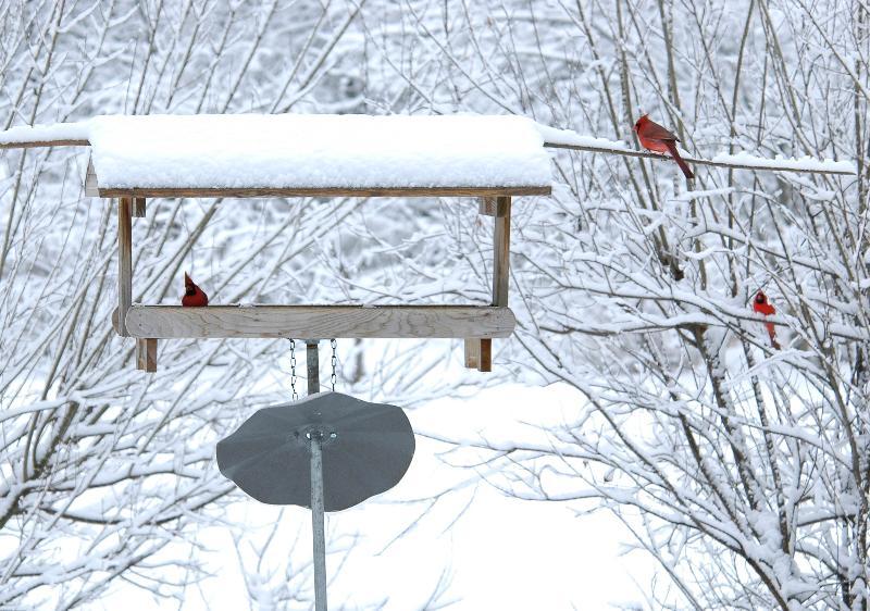 feeder cardinals 2