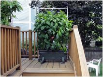 pepper plant winner white