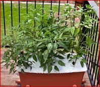 customer - pepper plants