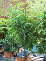 consumer - tomato from seed