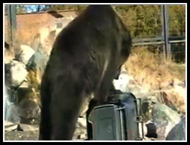 Bear Testing Garbage Bin