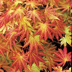 Special Edition Rare Unique And One Of A Kind Japanese Maples From