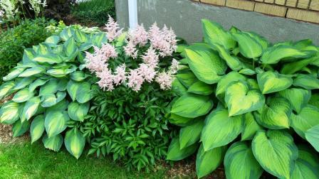Hostas and Astilbe