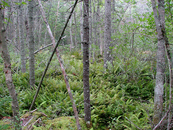 Black spruce swamp
