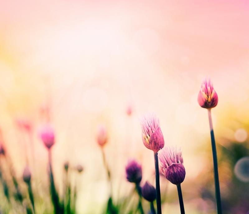 Fresh chives flower over colorful background. Spring or summer floral background