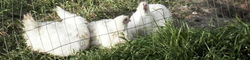 chickens on grass