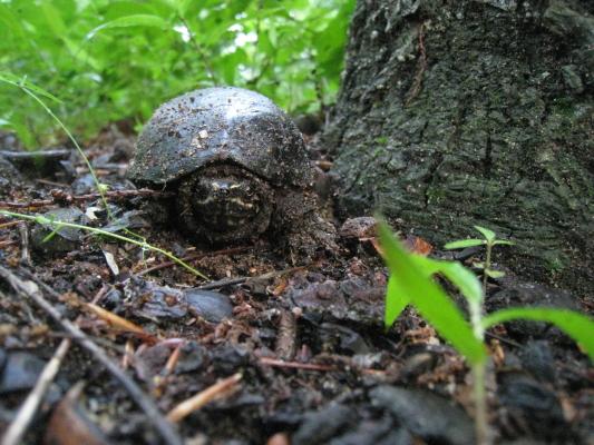LW_mud_turtle