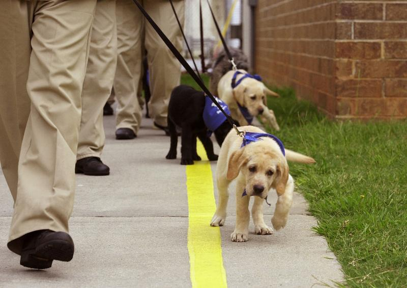 Photo of puppies being trained as guide dogs