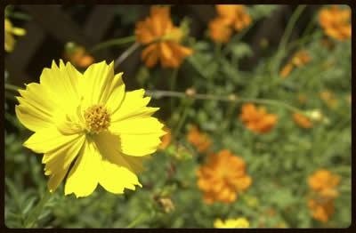 yellow-field-flowers.jpg