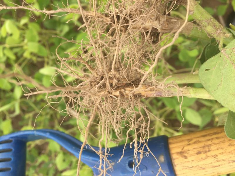 soybeans roots not nodulating