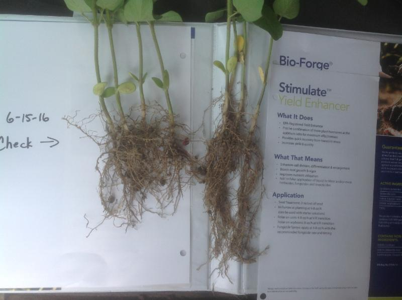 soybean root comparison