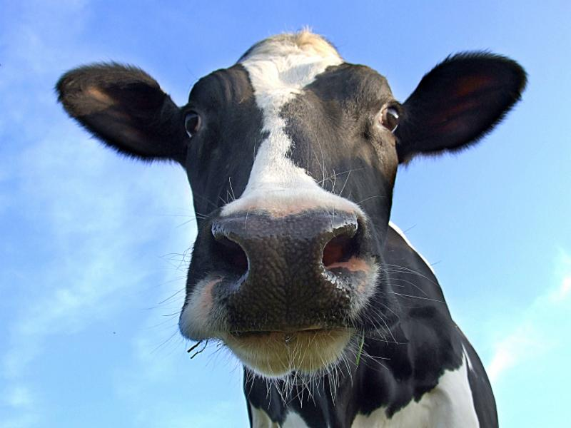 Cow up close
