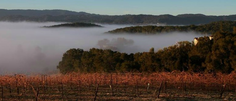 fog over vineyard