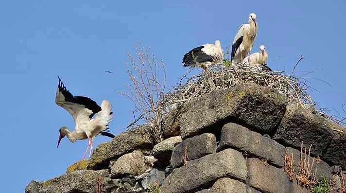 Storks in Spain, photo (c) Vance G. Martin