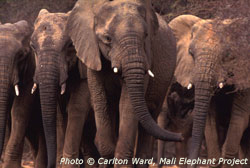 Carlton Ward, Mali Elephant Project