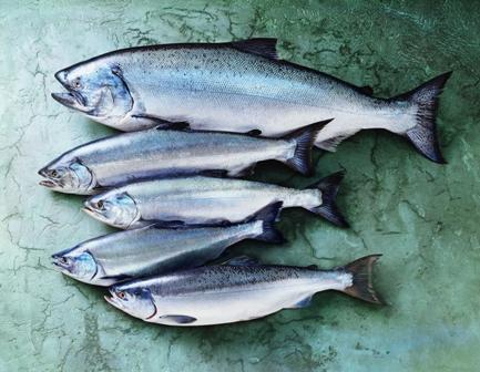 All Alaska Salmon Species