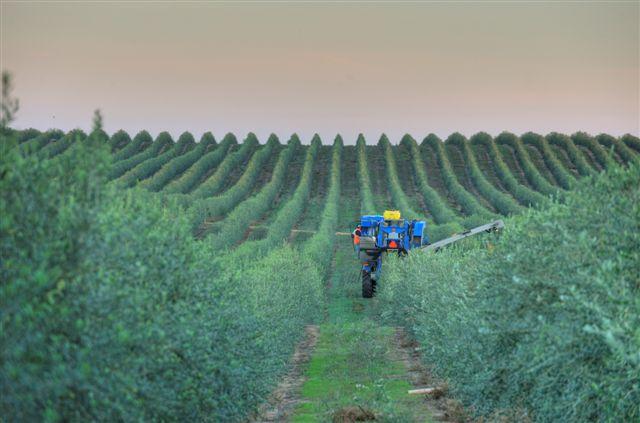 Morning Harvest in Artois