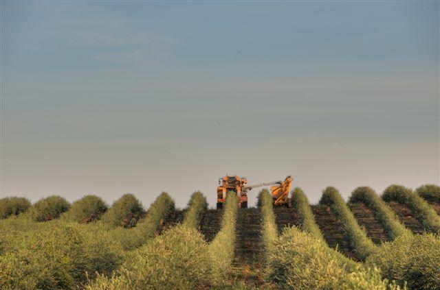 Olive Harvester at Artois