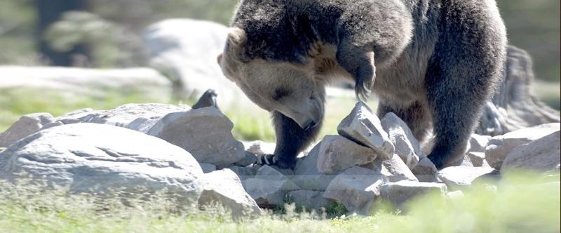 Bear turns rock