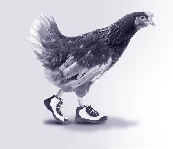 walking chicken 2