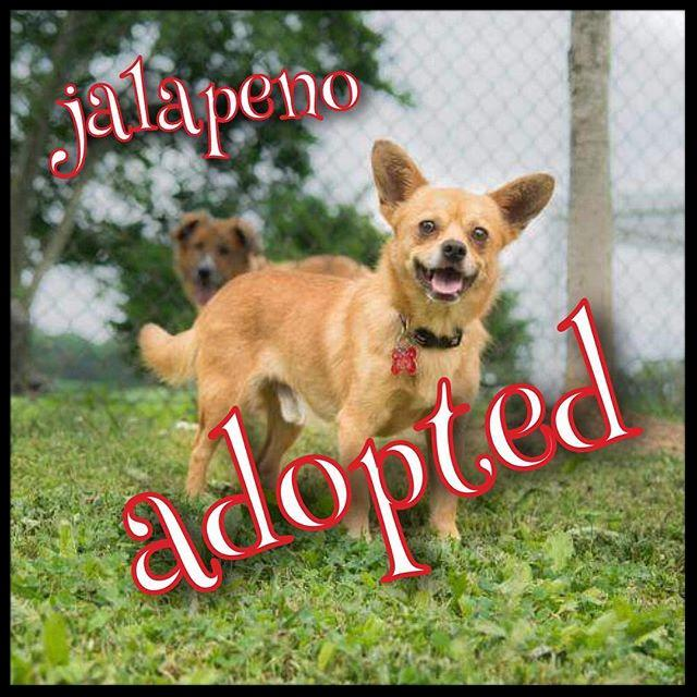 Congrats to Jalapeño for adding spice to his new forever home! #rescuedogsofinstagram #petconnectrescue #adoptdontshop #chihuahua #rescue #dmv #adopted