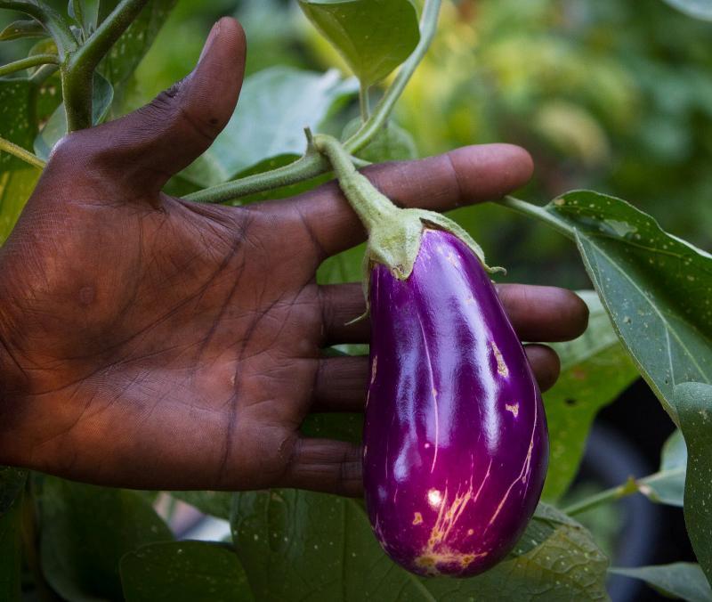 kabui eggplant