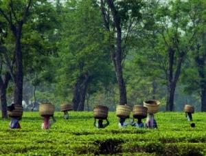 Monsoons in Assam's tea plantations