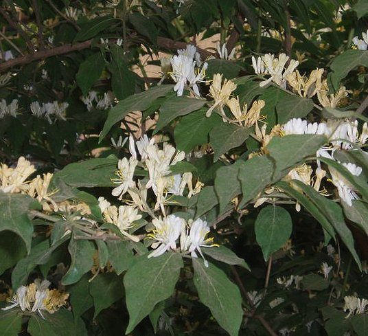 Amur Honeysuckle with flowers
