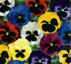 majestic pansies