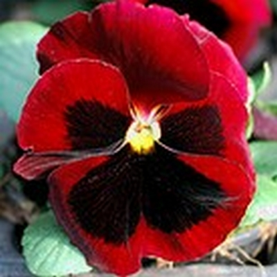 Majestic pansy red