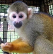 ChiChi the squirrel monkey