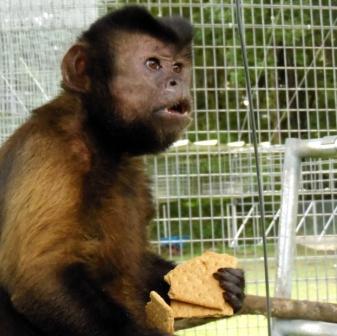 Micky UGA monkey