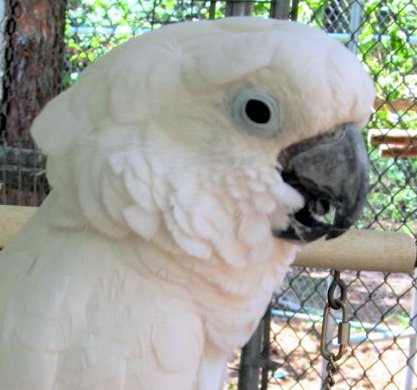 Gabby the Cockatoo
