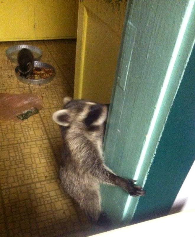 Raccoons in the kitchen