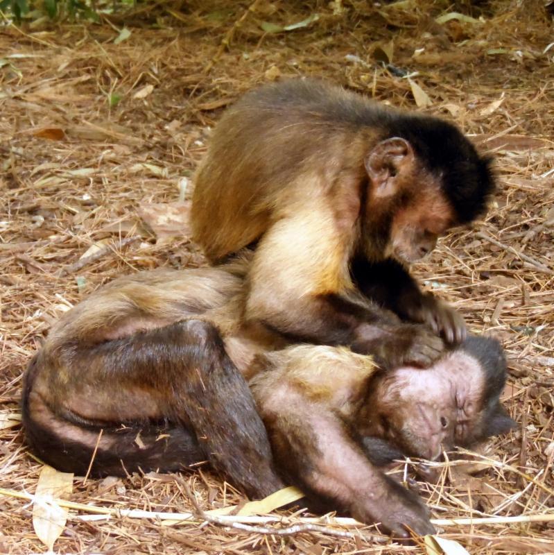 KC grooming Bongo May 2014