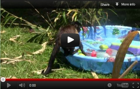 Watch the Baby monkeys in the big pool!
