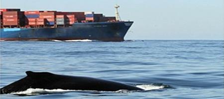 Humpback Whale & Cargo Ship