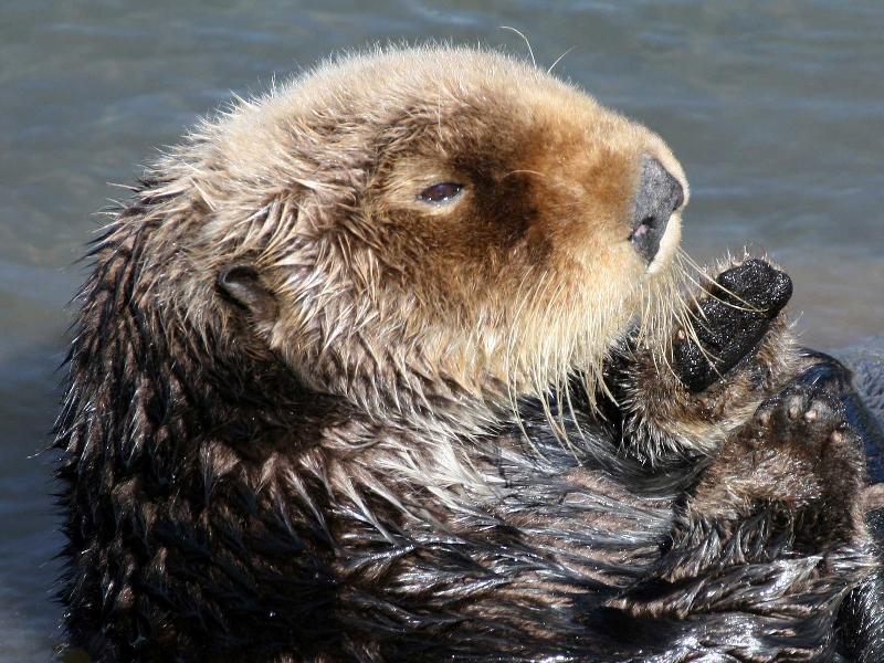 Otter - TK