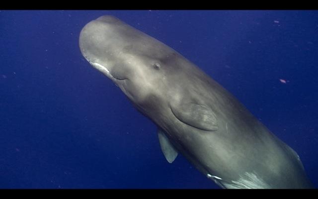 Sperm Whale - Dominica