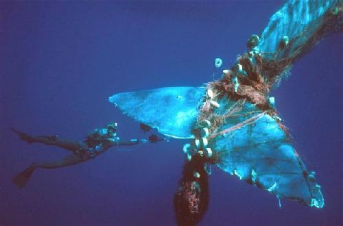 Entangled Sperm Whale